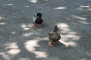 <p><b>Mascot Inspiration</p></b> Mr. and Mrs. Duck have become the unofficial mascot of De Anza, drawing fans with their presence around campus.