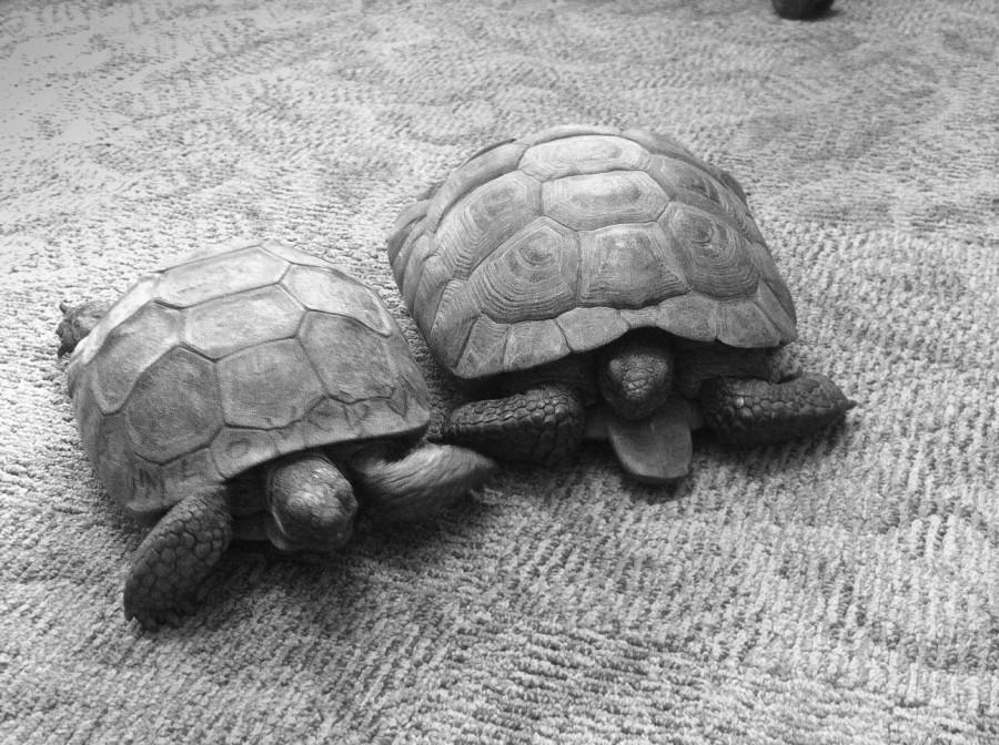 New tortoises make De Anza their home
