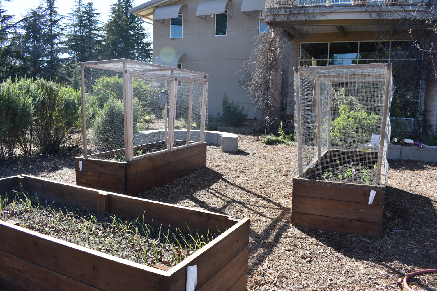 Front: A raised bed containing spring onions for the cafeteria. Back: Two raised beds containing a variety of foods such as kale, butter lettuce, strawberries, tomato, peas, mint, snow peas, etc.