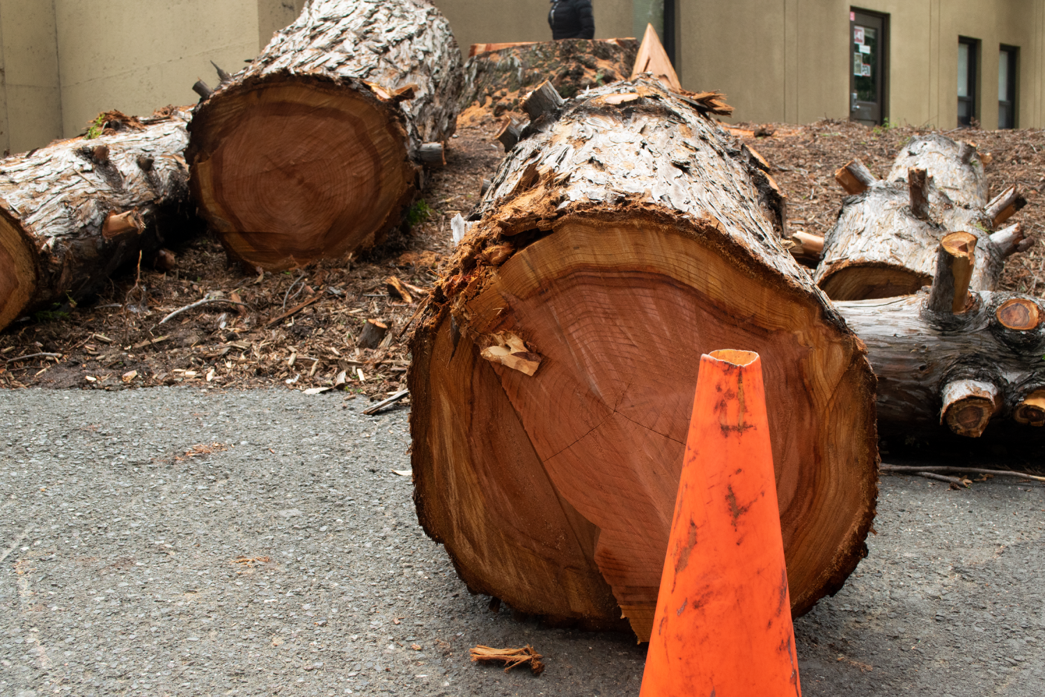 De Anza College cuts down campus' largest redwood tree